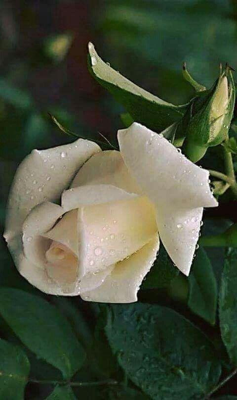 White rose..