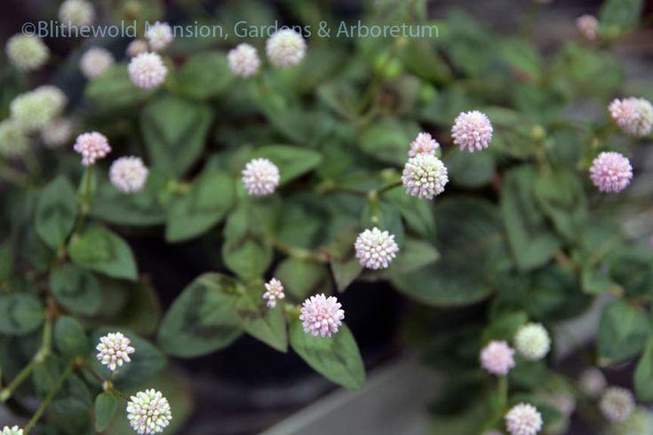 Persicaria capitata 'Magic Carpet'. Photo: Kristin Green, Blithewold Mansion, Gardens & Arboretum: Photo