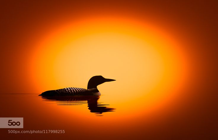 17 Best Images About Loons On Pinterest Minnesota The Christmas And