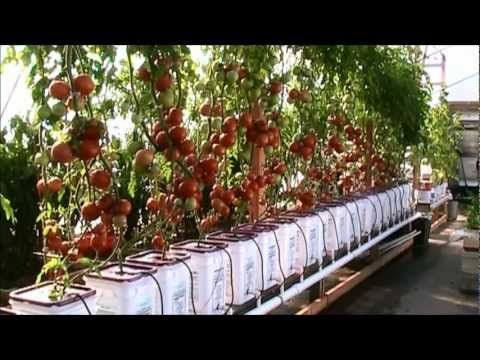 Dutch Bucket Hydroponic Tomatoes - Lessons Learned and a New Crop - YouTube  This is my friend on YouTube mhpgardener.  This is an awesome way to grow tomatoes, MHP shows us how.