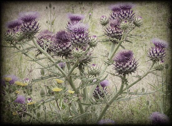photo of a thistle - Google Search   for my projects ...