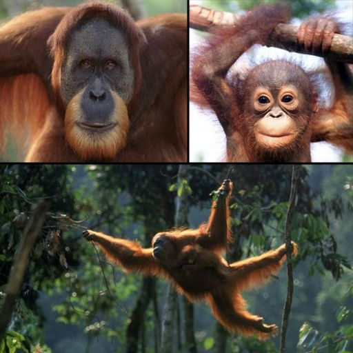 Sumatran Orangutan one of top 10 most endangered species down to 7,000 in very isolated small populations at threat from palm oil demand