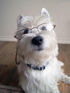 Westies Dog, Professor Westie, Cutest Westie, Wonderful Westies, Dogs Westies, Intelligent Westie, Funny Westies, Westies Westies