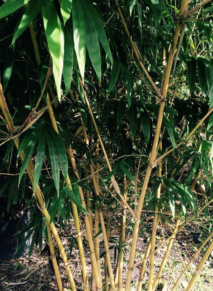 Asian Lemon Bamboo
