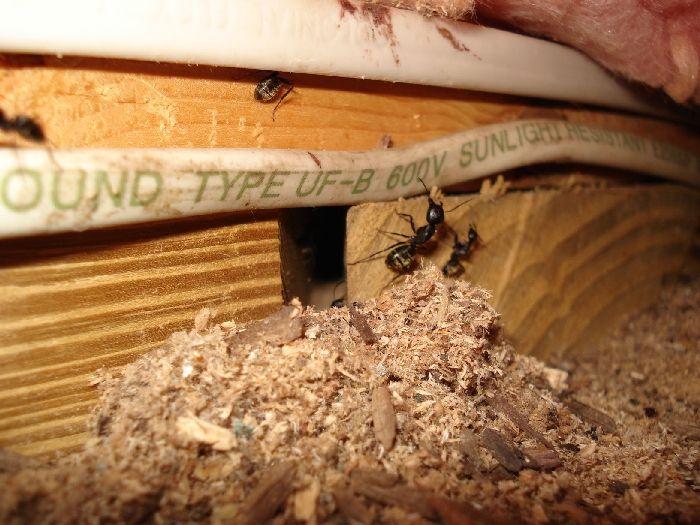 CARPENTER ANT DAMAGE IN THE ATTIC