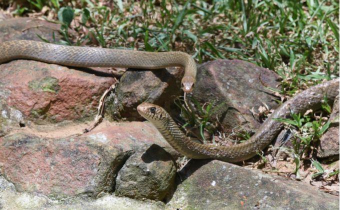 アオダイショウの特徴と飼育方法 詳しい生態や毒性の有無 生息地は Woriver アオダイショウ シマヘビ 性格