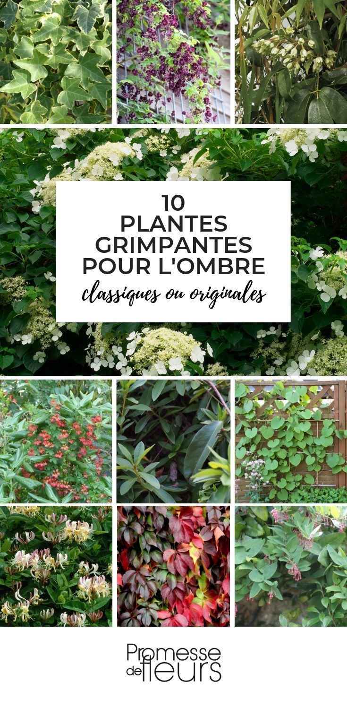 10 Plantes Grimpantes Pour Fleurir L Ombre Jardin Jardinage Plante Fleur Grimpante Omb Plante Grimpante Plante Grimpante Ombre Plante Grimpante Exterieur