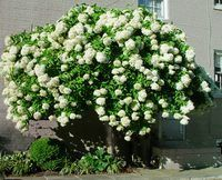 This is the ONLY hydrangea species that can be pruned into a tree form. Paniculata Hydrangeas (PeeGee and Family)