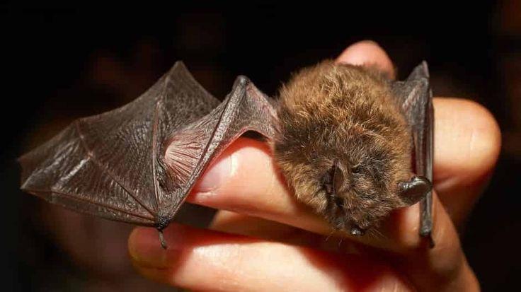 In Hessen leben 19 Fledermausarten, die ein Problem haben: Wohnungsmangel. Dabei können ihnen schon kleine Nischen helfen, auch an Gebäuden.