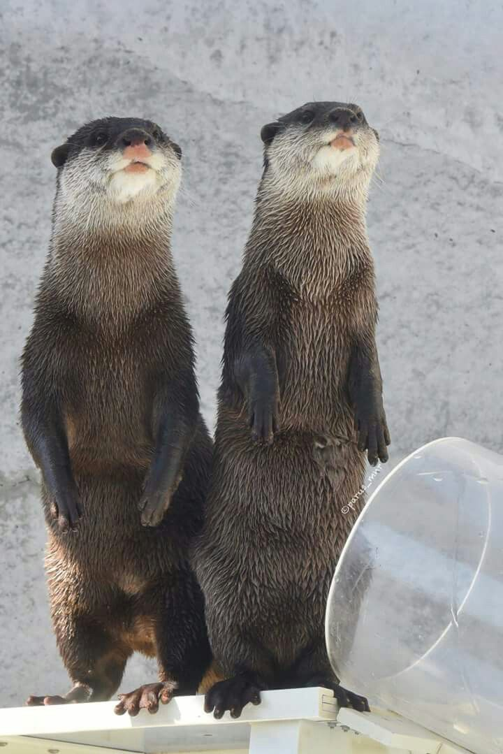 Otters, from parus_mnr@twitter