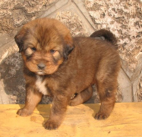 "red tibetan mastiff puppy :: ""the most expensive dog in the world"""