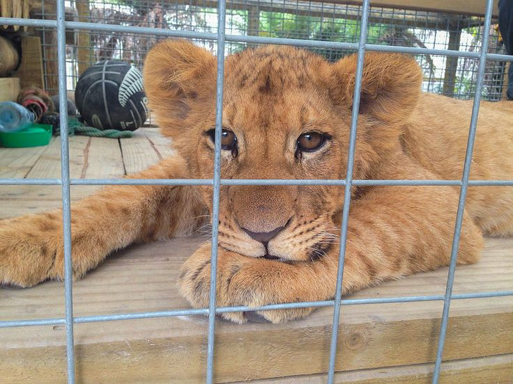 New Zealand - Hangin out with baby lion cubs!