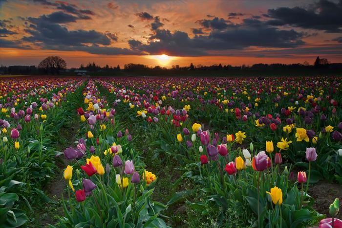 Um entardecer colorido. Existem diferentes tons e cores de tulipas, menos azul. As que chegam mais perto desta cor são as tulipas roxas.