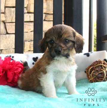 Cavapoo puppy for sale in GAP, PA. ADN-39251 on PuppyFinder.com Gender: Male. Age: 10 Weeks Old