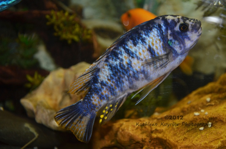 African cichlids lake malawi cichlids for African freshwater fish