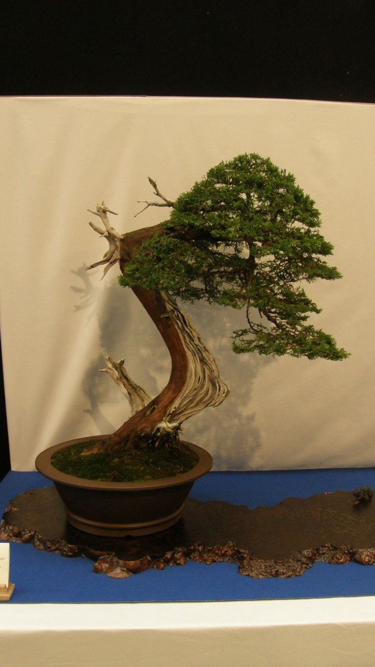 1000 Images About Bonsai For Andy On Pinterest