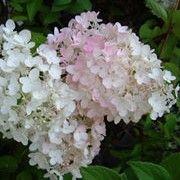 Hydrangea paniculata 'Grandiflora' (Hardy white-flowered hydrangea)
