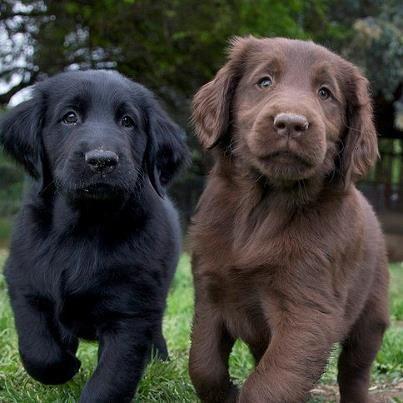 zwarte en bruine labrador