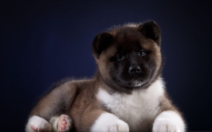 Download wallpapers Akita Inu, a little fluffy puppy, cute animals, small dogs, gray puppy