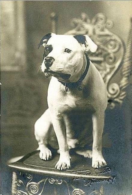 American Pit Bull Terrier | Dog Breeds | Pinterest ...  |American Pit Bull Terrier Vintage