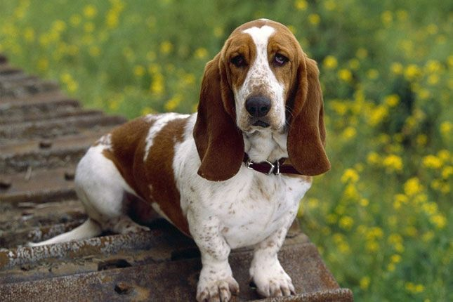 Find Basset Hound puppies for sale with pictures. Ask questions and learn about Basset Hounds at NextDayPets.com.