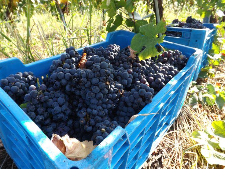 Ceste d'uva - Vendemmia 2013