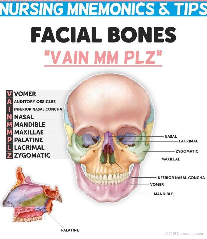 47 best skull & facial bones images on pinterest | facial bones, Human Body