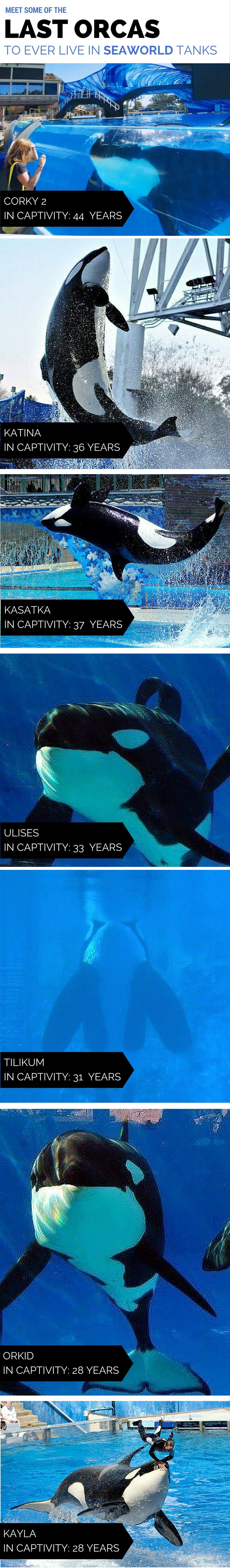 After years of controversy, SeaWorld announced that they're ending their captive breeding program - for good. Meet some of the last orcas to ever live in Seaworld tanks.