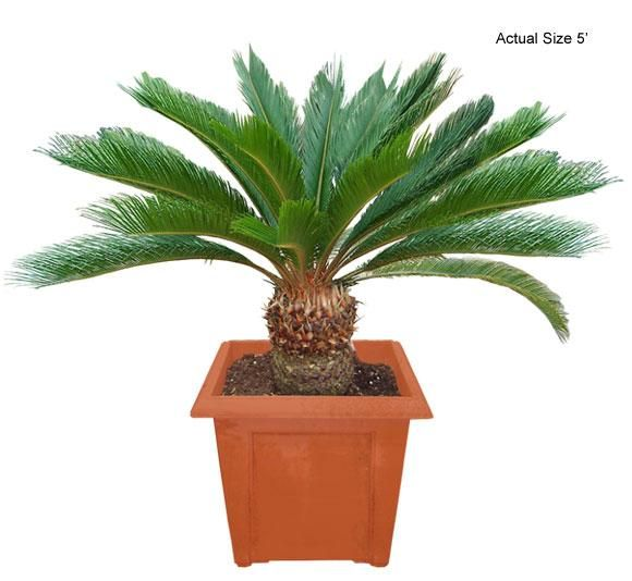 Sago Palm Tree (Japan) - We have traveled the globe to bring you the most exotic, rare, and beautiful species of plants and palm trees shipped directly to your door! Interested in buying something unique for a friend, office, or your significant other, just visit www.realpalmtrees... for gift ideas, they even come wrapped in a bow! Palm trees and plants are great for outdoor landscaping, decorating a pool patio, for a spa or Jacuzzi, or just to spread the word of Green Living!