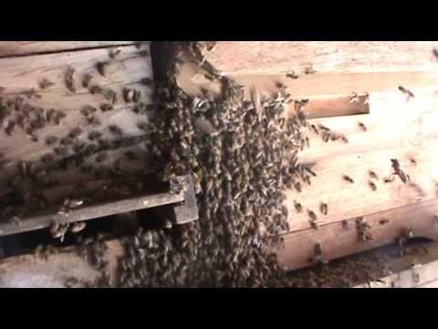 Abelhas - Chegada de enxame e abelha rainha - YouTube