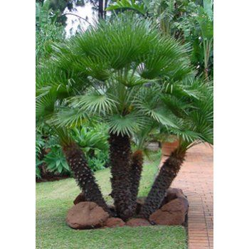Chamaerops humilis (Dwarf Fan Palm) - 10L Pot One of the very few Mediterranean palm trees, the Chamaerops humilis is a superbly durable and hardy palm, and one of the very best in windy, exposed situations. Its slow growth rate, and it's compact growth habit, means this dwa