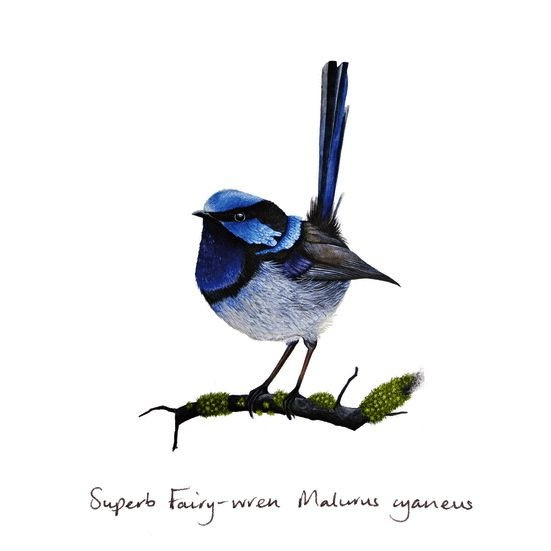 Superb Fairy-wren: Gift Card : Greeting Card One of our best sellers. Hand drawn by Helen Barnard, Tasmania, Australia $5.99