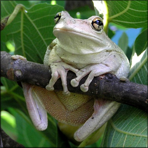 The Cuban Tree Frog does not care if he is a non-native species. Now quit ruining his Monday.