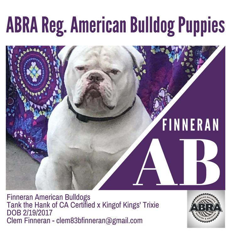 Finneran American Bulldogs Tank the Hank of CA Certified x Kingof Kings' Trixie DOB 2/19/2017 Clem Finneran - clem83bfinneran@gmail.com