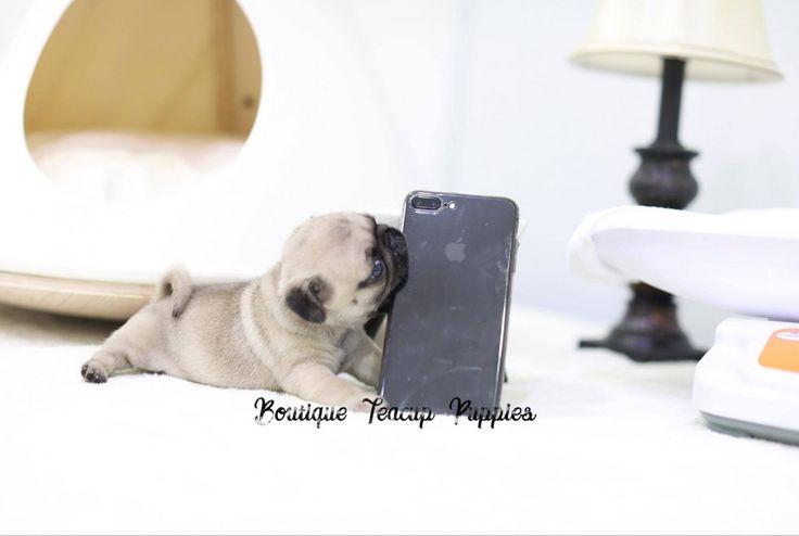 Best 25+ Teacup pug ideas on Pinterest | Baby pugs, Baby ...