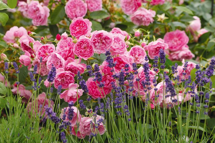 David Austin's 'Harlow Carr' with english lavender, from the English rose collection, good for hedging