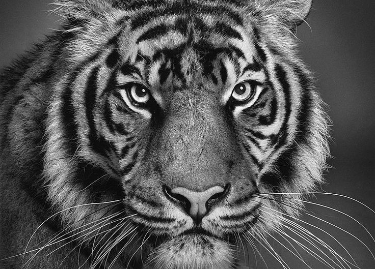 Tiger..While ultra-realistic pencil drawing of humans are difficult, animals are even more complicated thanks to their unique features such as fur and whiskers. That didnt stop Paul Lung from creating this perfect representation, though.