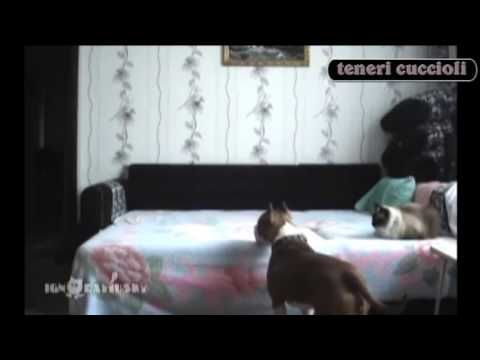 Cane balla sul letto e gatto lo guarda immobile / Dog dancing on the bed, cat looks him still