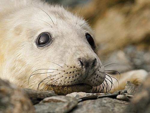 Grey Seal Pups at Skomer Island