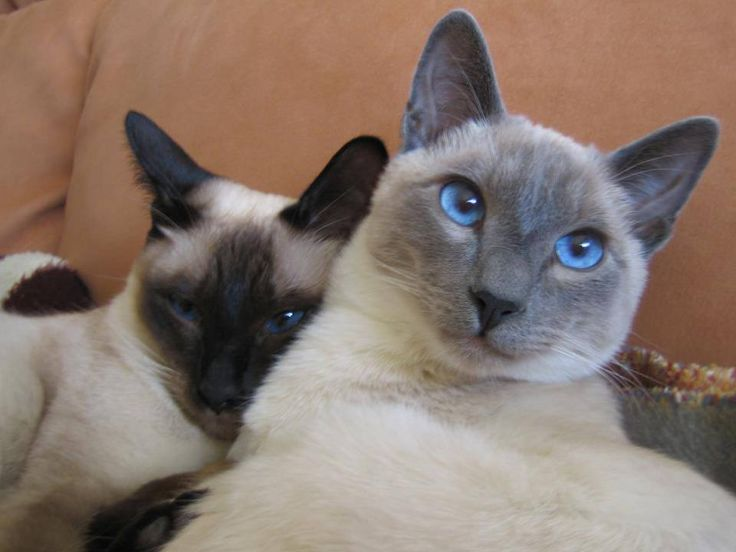 ... point, Flame point, ,Balinese andTonkinese. | Siamese Cats Are Special