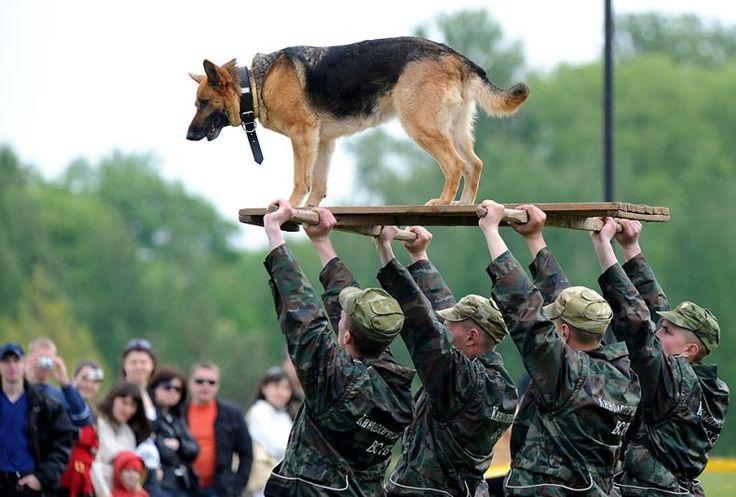 Military Dog**