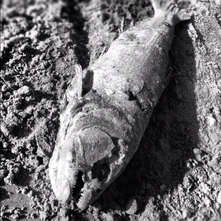 Pescado muerto