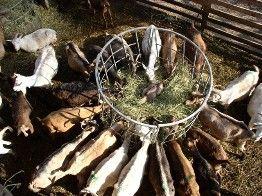 Kecsketartás - Kecsketej kecskesajt sajtkészítés falusi vendégasztal Gyűrűfű Tündérmajor