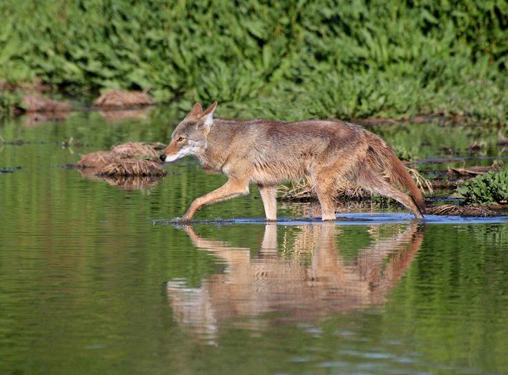 Coyote marchant dans l'eau