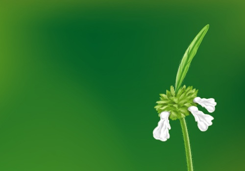 White flower illustration. It is called thumbapoo in Kerala.