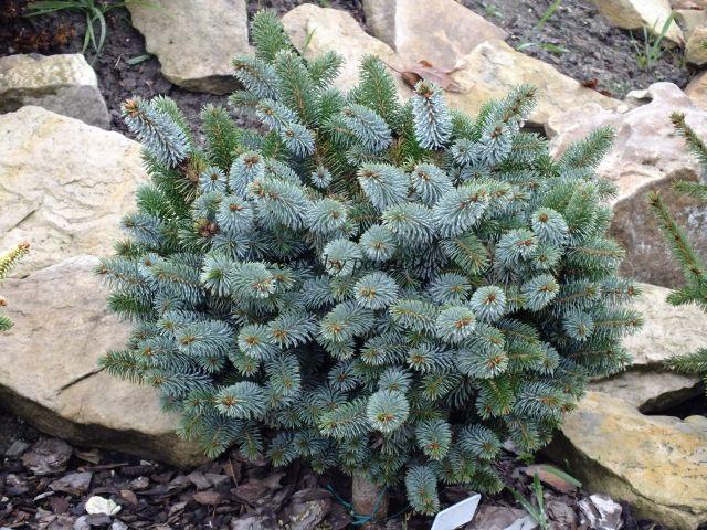 Picea sitchensis 'Silberkugel'