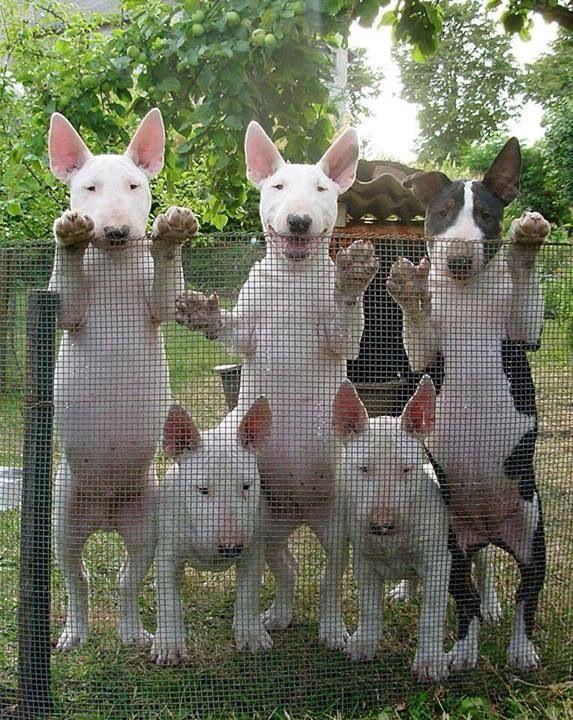 Haha #Bull #Terrier family
