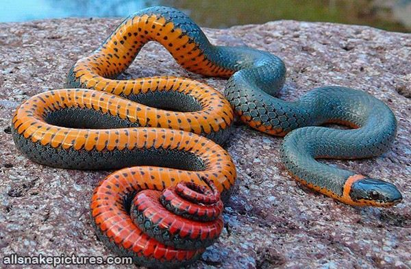very colorful snake - Snake Pictures