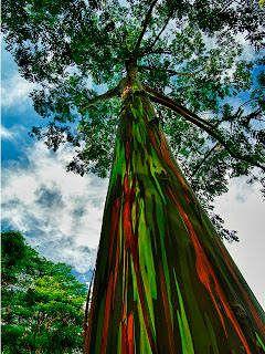 """EUCALIPTO ARCO-ÍRIS – Chega a ser difícil de acreditar que não pintaram esta planta. Esta curiosa árvore pertence à espécie """"Eucalyptus deglupta"""". Sua característica mais marcante é precisamente a coloração vistosa do seu tronco, que o levou a ganhar o apelido de """"arco-íris Eucalyptus""""...."""