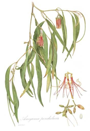 Misteltoe (Amyema pendulum), watercolour on paper by Nicola Oram.